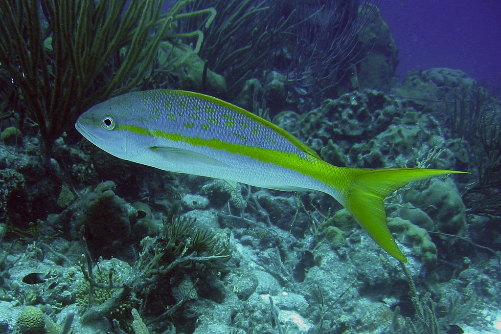 1024px-2006-10-06_18_-_Yellowtail_Snapper