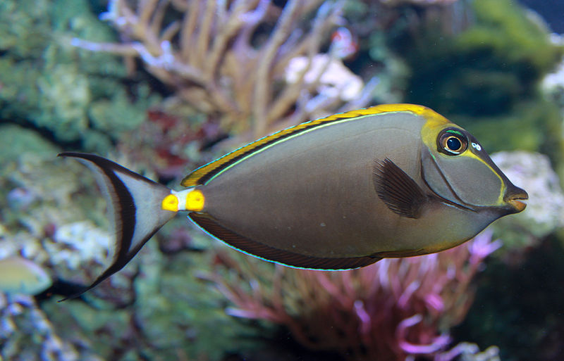 800px-Orangespine_Unicornfish_-_Naso_lituratus
