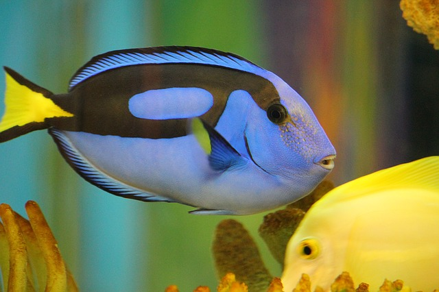 blue-tang-1288727_640