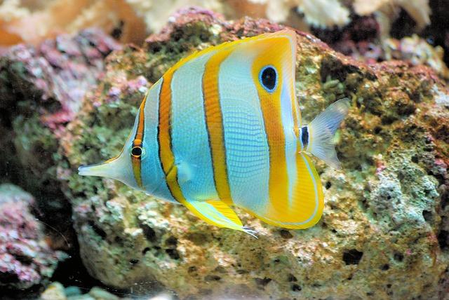 butterflyfish-460423_640