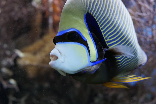 emperor-angelfish-793372_640